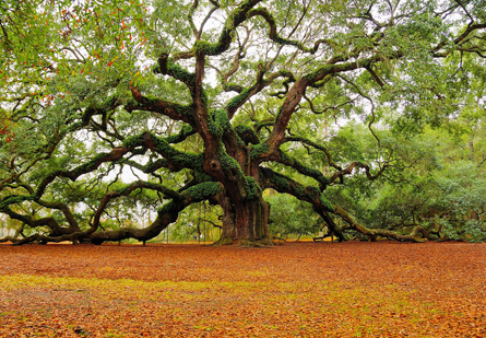 Angel Oak - Charleston, South Carolina. (Mark Requidan)