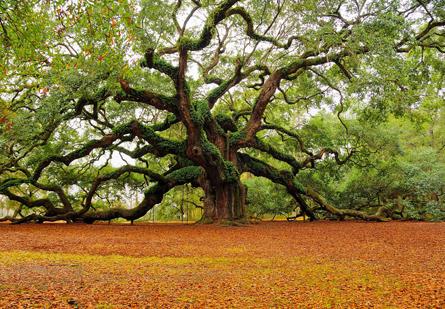 Angel Oak - Charleston, South Carolina. (Mark Requidan)