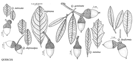 Identification of quercus virginiana. (Diagram: eFloras.org)