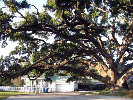 Live oak, Biloxi, Mississippi. (Vincent Baudoin)